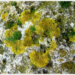Yellow lichen on a seawall at Lyme Regis