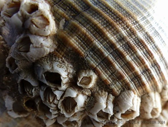 Macro-photograph of growth lines and natural sculpturing on a whelk shell