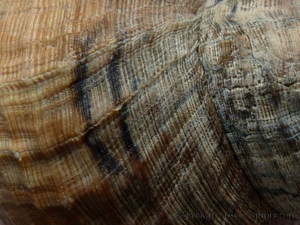 Detail of growth lines and pattern in a Common Whelk shell
