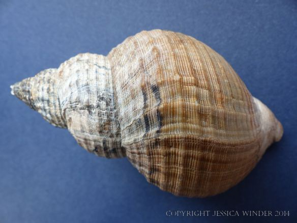 Study of a Common Whelk shell
