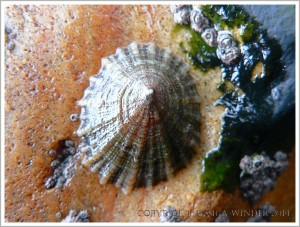 Limpet living on a rust-stained rock at Lyme Regis
