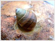 Living Common Periwinkle with a striped shell on coloured rock at Lyme Regis