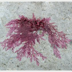Red seaweed drying on the rock at Lyme Regis