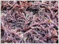Red seaweed on the beach at Lyme Regis