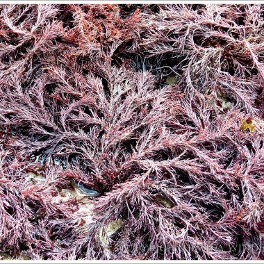 Red seaweed on the beach at Lyme Regis