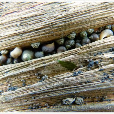 Small periwinkles living on an old wooden groyne on the beach at Lyme Regis