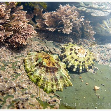 Small limpets in a shallow tide pool on the Lyme Regis seashore