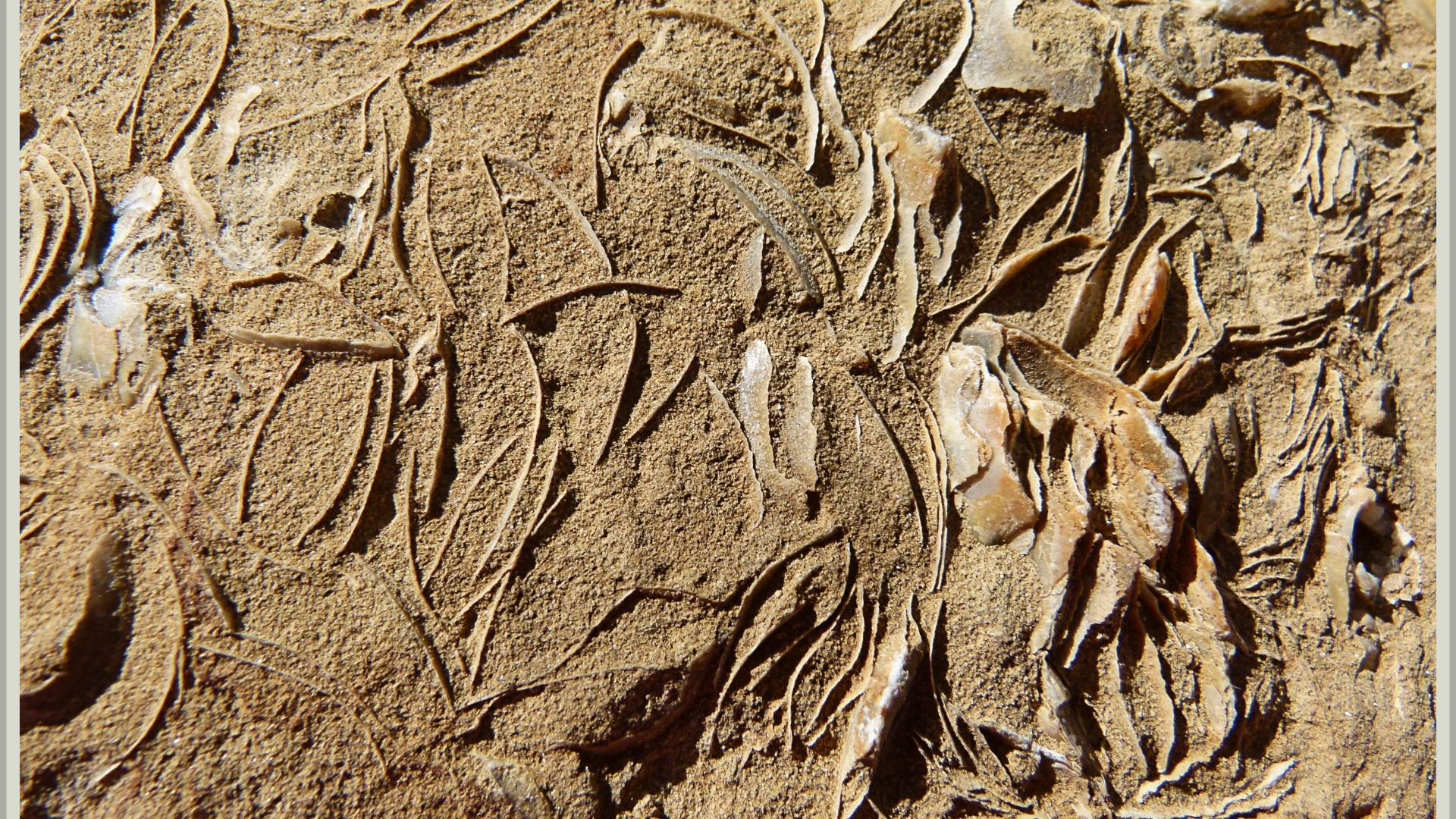 Middle Jurassic bivalve shell fossils at Eype