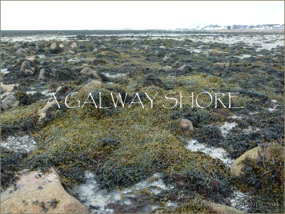 A seaweed covered shore on the edge of Galway Bay