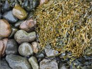 Egg Wrack seaweed on wet pebbles at the beach