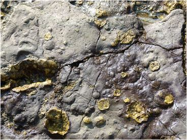 Calcitic inclusions in purpley coloured rock layer on the Worms Head Causeway.