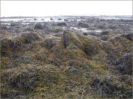 Egg Wrack seaweed on the beach