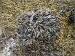 Bladder Wrack and Egg Wrack seaweed