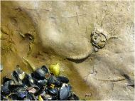 Fossil Crinoid Sea Lily in Carboniferous Black Rock Limestone on Worms Head Causeway