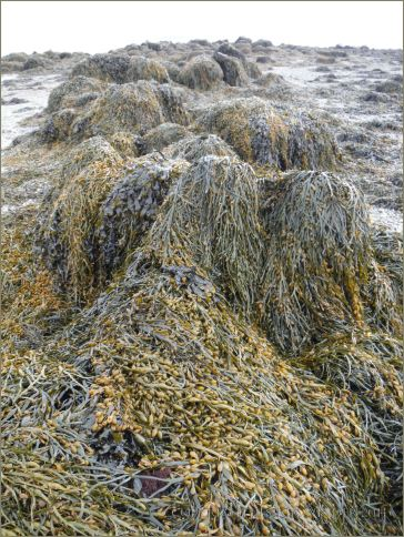 Mostly Egg Wrack draped over a beach boulder