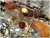 Small pool in coloured limestone with a limpet and sea anemone