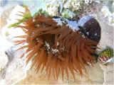Red Beadlet anemone with extended tentacles under water in a small pool