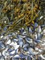 Egg Wrack and empty mussel shells