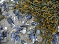 Egg Wrack seaweed and empty mussel shells on the beach