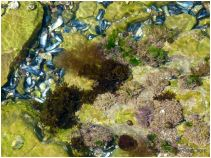 Small shallow tidal pool in green algae coated limestone with small seashore creatures and assorted red seaweeds.