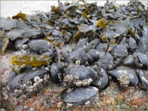 Edible Mussels growing on a beach boulder in Galway Bay