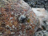 Limpet and barnacles on a beach boulder