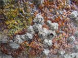 Acorn barnacles growing on a biofolm-coloured beach boulder