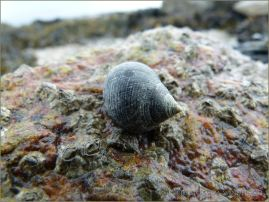 Common Periwinkle grazing on a beach boulder