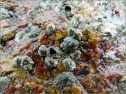 Acorn barnacles growing on a biofilm covered beach boulder