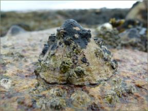 Living limpet with patches of encrusting brown seaweed on the shell