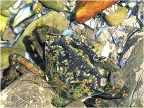 Green Shore Crab living in a rock pool on the Worms Head Causeway
