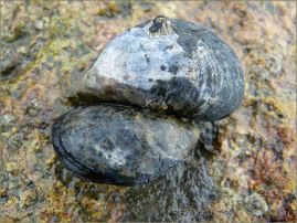 Edible Mussels growing on rock