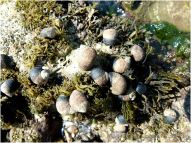 Common Periwinkles feeding on seaweed on the Worms Head Causeway