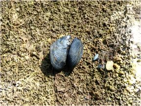 Mussels attached to worm-eroded rock