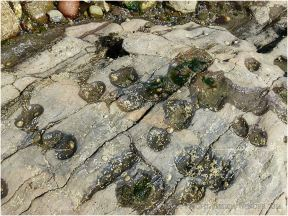 Limpets like to live in small saucer-sized hollows on the flat surfaces of limestone out on the Worms Head Causeway