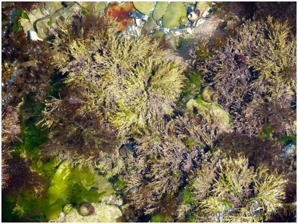Calcareous seaweeds like Corallina officinalis are common in rock pools out on the Worms Head Causeway