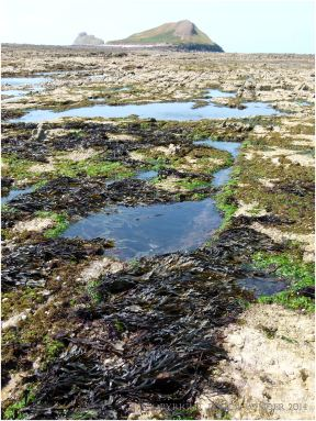 Rock pools and seaweed in the mid-shore zone of the Worms Head Causeway