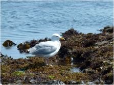 Gull foraging amongst seaweed at the waters edge on the Worms Head Causeway