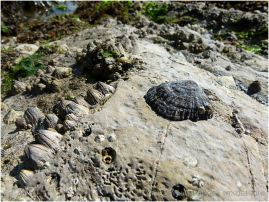 Limpets and barnacles of limestone with worm burrows on the Worms Head Causeway