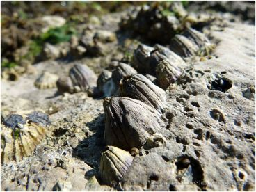 Large Balanus perforatus Bruguiere barnacles living on the Worms Head Cause rocks