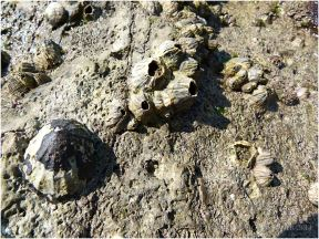 Limpet and barnacles on worm-burrowed limestone out on the Worms Head Causeway