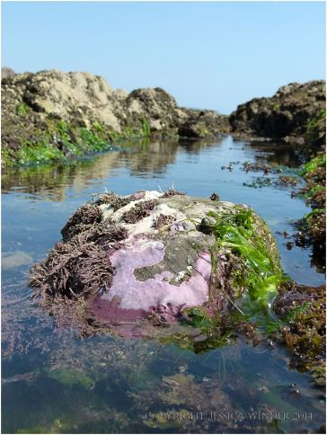 Encrusting calcareousCorallinaceae Pink Paint Weed on the waterline of a boulder in a gully on Worms Head Causeway