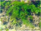 Bright green seaweed floating in a rock pool