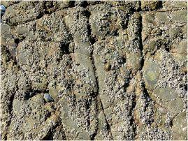 Barnacle-encrusted seashore limestone