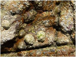Limpets and barnacles living on rusty coloured limestone