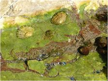 Green algal film covering calcite and haematite under a shallow trickle of water on the shore
