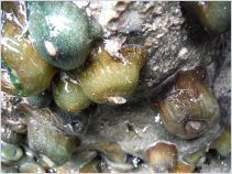 Sea anemones of the family Actiniidae