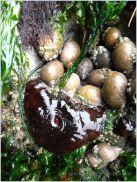 Deep red Actinia equina and Nucella lapillus
