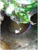 Beadlet anemone Actinia equina