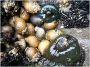 Sea anemones of the family Actiniidae